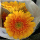 Aurora Flowershop - Yellow Garbera