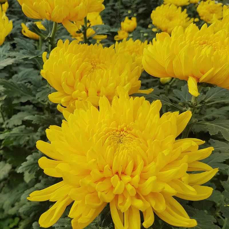 Aurora Flowershop - Yellow Crysant (Standart)