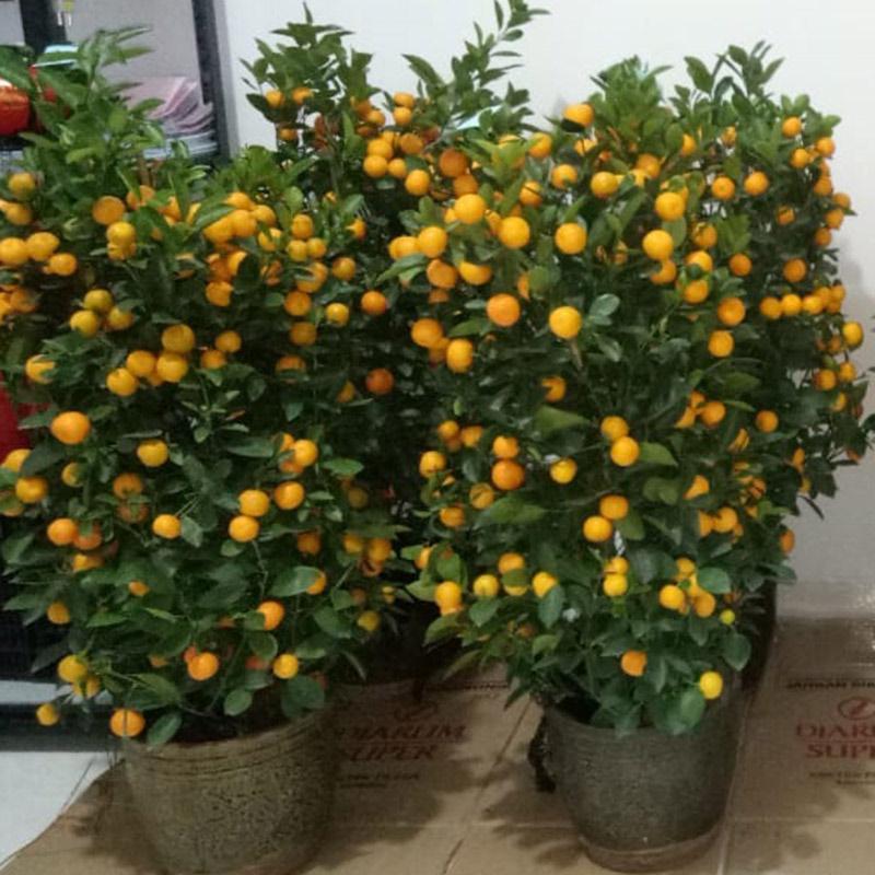Aurora Flowershop - Pohon Jeruk Ukuran M