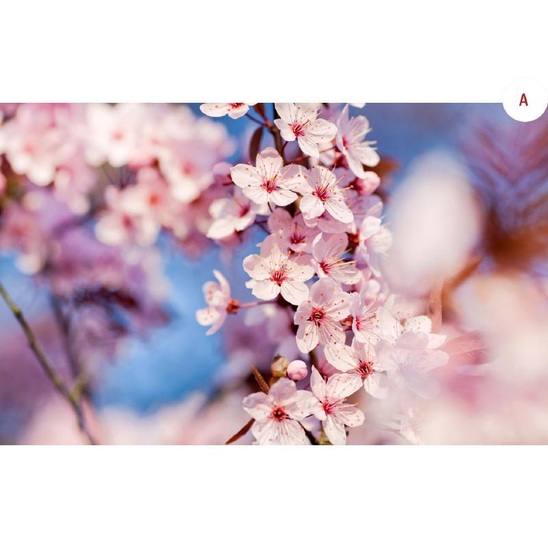 7D Spring Korea Jeju Cherry Blossom Dewasa