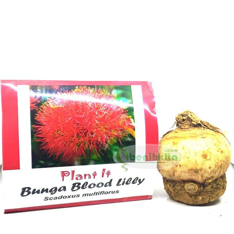 Bibit Benih Umbi Bunga Blood Lilly