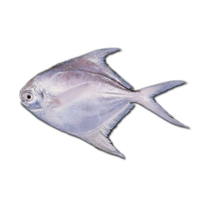 Blessing Fish Ikan Bawal Putih Besar 1 Kg